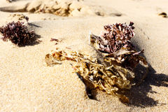 Washed out seaweed on the sand. On the beach Stock Photos