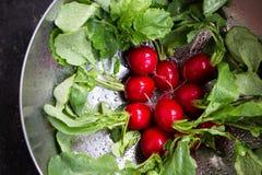 Washed radishes in a metallic bowl. Freshly washed radishes in a metallic bowl close up Royalty Free Stock Photo