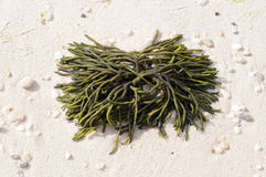 Seaweed on. This is an image taken of a piece of seaweed that washed up on the beach Royalty Free Stock Images