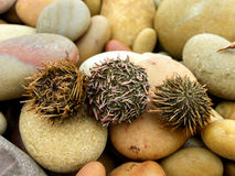 Washed up Cape Sea Urchins Stock Photo