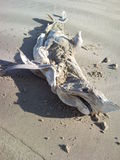 Washed up dead shark on beach Stock Photos
