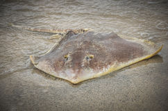 Washed up dead stingray on beach Royalty Free Stock Photography