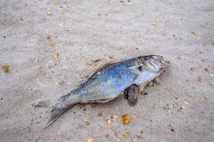 Washed-up Fish royalty free stock photography
