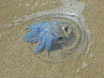 Washed-up jellyfish Stock Photo