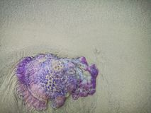 Jellyfish wash up on the beach dead during the low tide on the sea shore. stock photos