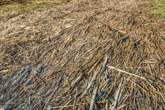 Washed up plants remains. Washed up plant remains consisting mainly of broken reed stalks Stock Photo