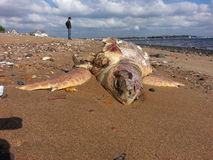 Washed up Sea Turtle Stock Image