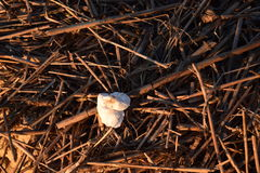 Washed up on shore. Two seashells sitting on top of washed up reeds on the beach Royalty Free Stock Image