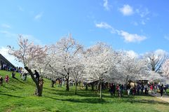 Washignton DC, Columbia, USA - April 11, 2015: Cherry Blossoms Festival Stock Photography