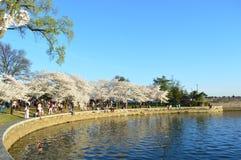 Washignton gelijkstroom, Colombia, de V.S. - 11 April, 2015: Piekcherry blossom bloom royalty-vrije stock fotografie