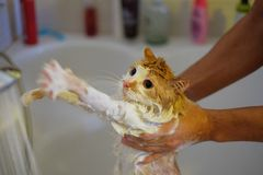 Washing the cat. Wet, scared and unhappy cat in human hands Royalty Free Stock Photo