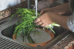 Washing Catalonia Chicory. Woman hands washing Catalonia chicory or puntarelle with fresh water Stock Photography