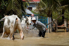 Washing the cattle Stock Image