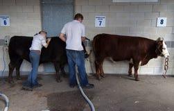 Washing cattle Royalty Free Stock Photos