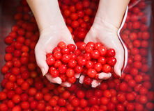 Washing cherries Stock Photos