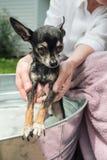 Washing Chihuahua Dog in a Metal Tub Outdoors. Closeup of woman washing a chihuahua in a metal wash tub outdoors royalty free stock photo