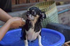 Washing Chihuahua dog Stock Images