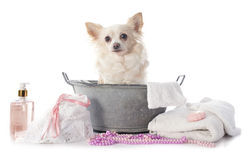 Washing chihuahua Stock Photography