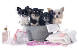 Washing chihuahuas Royalty Free Stock Image