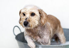 Washing the dog. In an old bathtub Royalty Free Stock Images