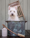 Washing the dog. A small white dog gets a bath Stock Photo
