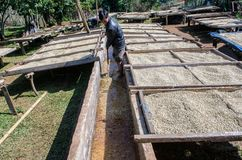 Washing and drying coffee beans. Stock Image