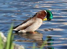 Washing duck stock photo
