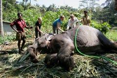 Washing an elephant. In Periyar National park, Kerala, India Stock Photo