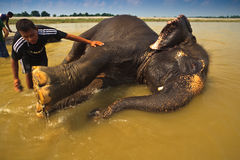 Washing Elephant's Feet During Bath in the River Stock Photography