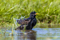 Washing European Starling. European Starling (Sturnus vulgaris) taking a water bath in a pool on a hot sunny summer day Royalty Free Stock Photo