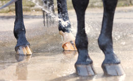 Washing of feet and hooves horse closeup. Washing of feet and hooves horse royalty free stock images