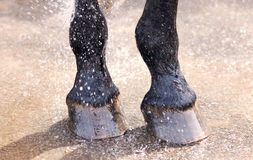 Washing of feet and hooves horse closeup Royalty Free Stock Photo
