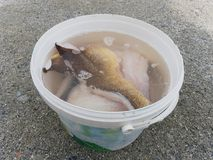 Washing of fish fillets in salt water. Fresh raw codfish steak in plastic bucket,. Ready for final control and  freezing Royalty Free Stock Photography