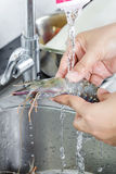 Washing fresh shrimp Stock Images