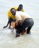 Washing the goat stock images
