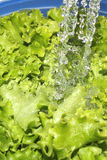 Washing green leaf lettuce Royalty Free Stock Image