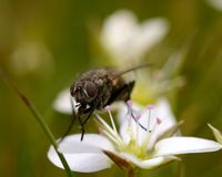 Macro of a fly sitting on a white flower Stock Photos