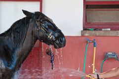 Washing an horse Stock Photography