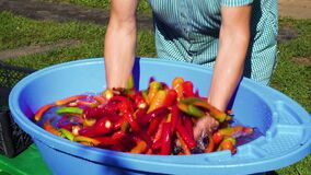 Washing of hot pepper with water. Washing hot pepper with water in a blue basin stock video footage