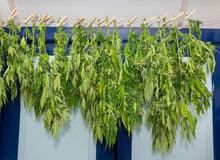 Washing line with drying hemp plants. Washing line with drying weed plants at attic stock photos