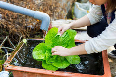 Washing organic lettuce by hand Stock Photos