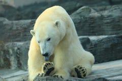 Washing polar bear. The polar bear licking its feet royalty free stock photography