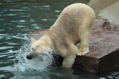 Washing polar bear Royalty Free Stock Image