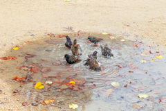 Washing in puddle. Royalty Free Stock Photos