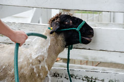 washing sheep Stock Photo