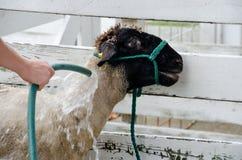 washing sheep Stock Photo