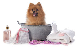 Washing spitz. In front of white background stock photos