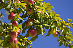 Washington Apples ripe on the tree stock photo