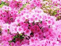 Washington Azalee flowers 2007 Royalty Free Stock Image