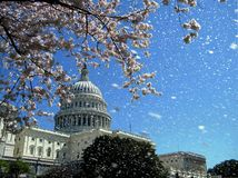 Washington Capitol la lluvia flores de cerezo de abril de 2010 Imagenes de archivo